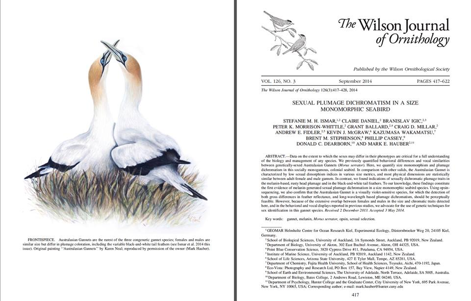 Painting of Australasian gannets commissioned for ornithological journal by New Zealand wildlife artist Karen Neal