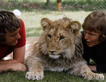 John and Ace with Christian the Lion in the UK in 1970s. Painting donation by wildlife artist Karen Neal