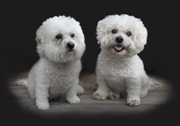 Bichon Frise photo for painting