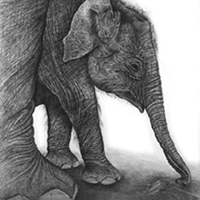 Baby elephant pencil portrait by Karen Neal, NZ wildlife artist