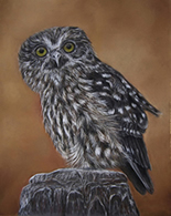 New Zealand Morepork pastel painting by wildlife artist Karen Neal